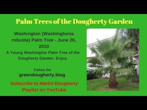 comment planter un palmier washingtonia robusta jar doovi. Black Bedroom Furniture Sets. Home Design Ideas