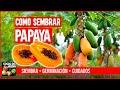 COMO SEMBRAR PAPAYA  - CULTIVO SIEMBRA Y CUIDADOS