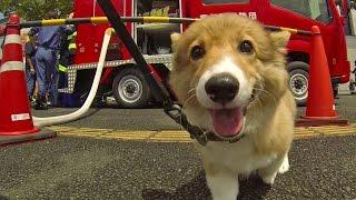 Roku In Water Gun Festival / ロクさんと寒川びっちょり祭に行ってきた 20150816 Welsh Corgi Puppy 子犬