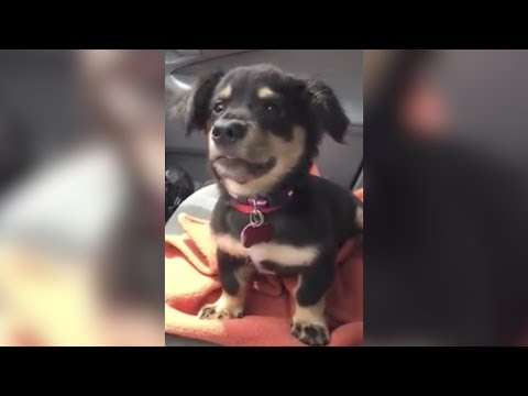 Little Puppy, Huge Anger - Could It Be More Adorable?
