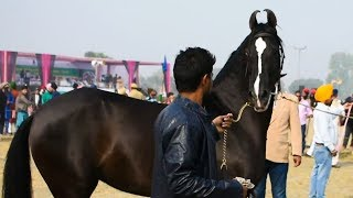 Marwari horse of best breed from Punjab India