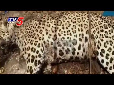 Hunters Kill Cheetah For its Costly Nails at Siddipet   TV5 News
