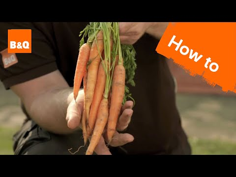 How to grow & harvest carrots