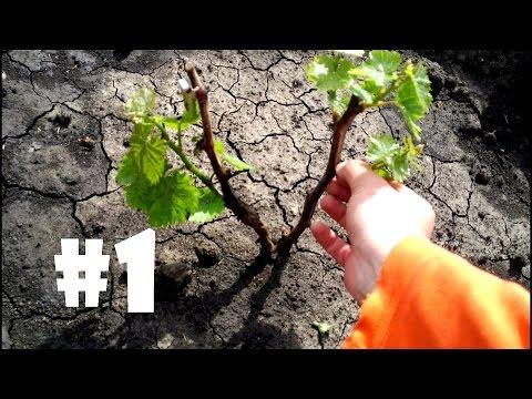 Как часто поливать виноград после посадки