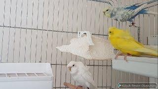 Muhabbet kuşları Jumbo ve japones kuşlarımız öldü