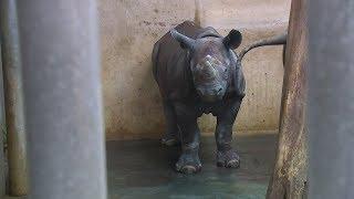 Geburtagstorte für den Nashorn-Nachwuchs