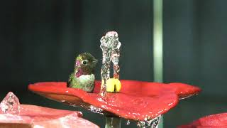 "Awe Pair male Anna's Bathing in my ""Hummingbird Playground Fountain"""