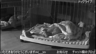 【24時間ライブ②】ミニチュアダックス  いたずらダックスに癒されるお部屋(*'ω' *) ライブカメラ②
