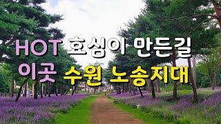 [수원 가볼만한곳] #노송지대 8월 새로운 맥문동 군락…