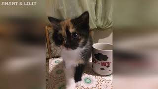"""Новая порода кошек - """"МЕТИС"""" ! Моя Тигруля!"""