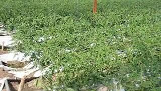 Ralstonia en tomate roble