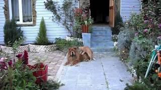 Кот делает массаж собаке чау-чау