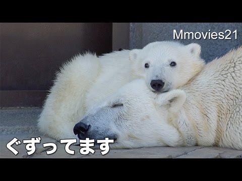 Polar Bear cub is crying ぐずって鳴くホッキョクグマのこぐま