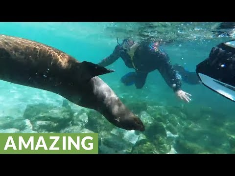 Happy Sea Lions Surround & Play With Beach Swimmers