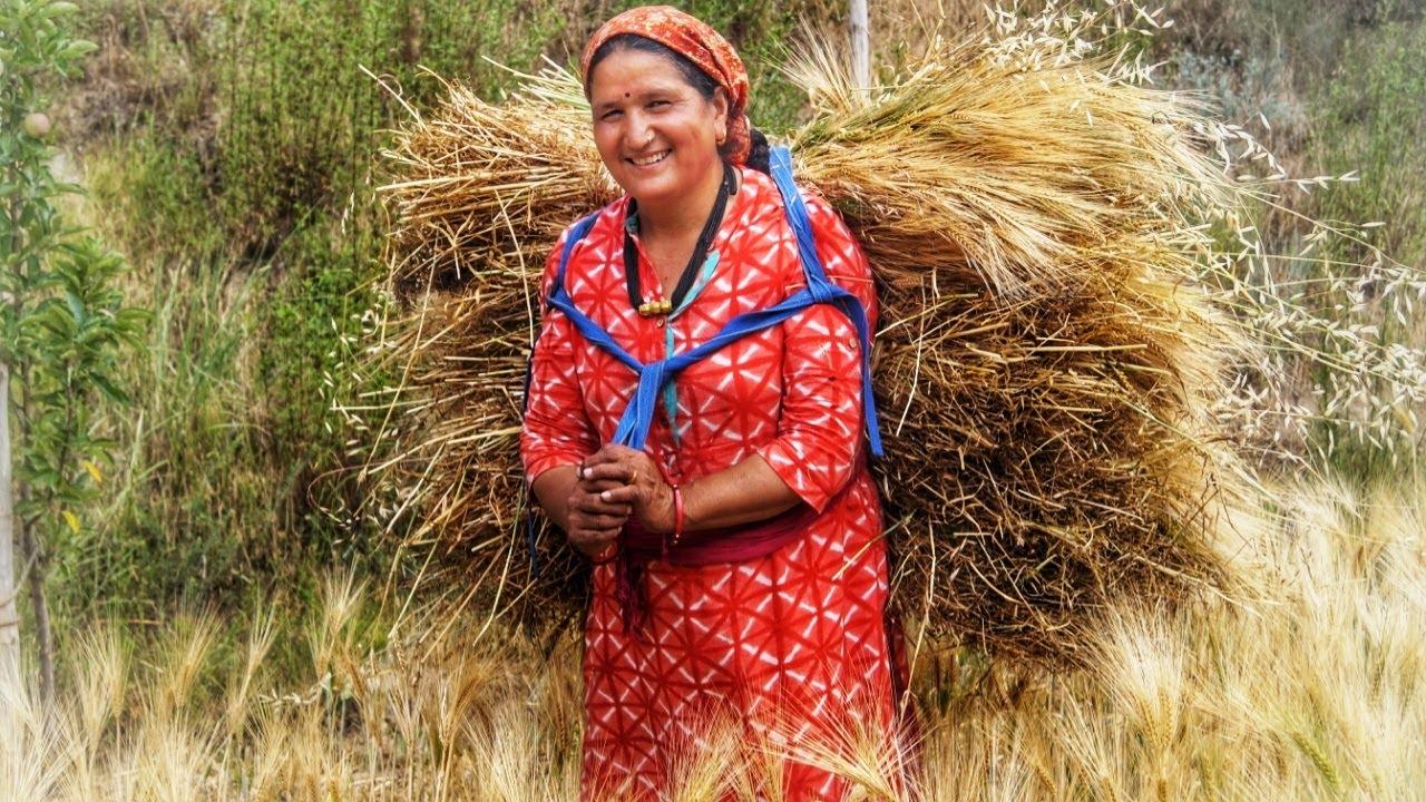 ||Barley(jau)cultivation in Kinnaur HP||