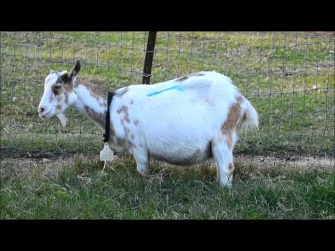 Early Active Labor in Goats