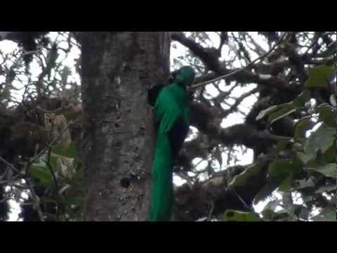 Quetzal, most beautiful bird of America