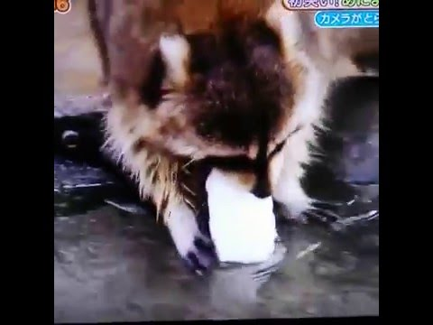 Raccoon Accidentally Dissolves His Cotton Candy