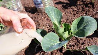 В июне для завязывания огромного кочана поливайте капусту под корень этой секретной белянкой!