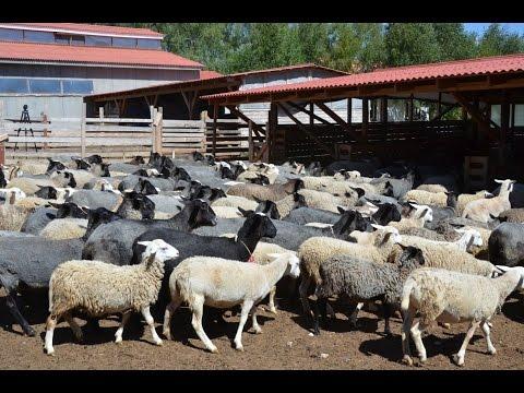 Фото стадо пастух