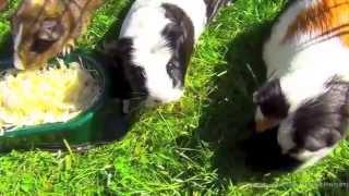 Что едят морские свинки  Рацион животного