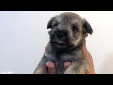 "Introducing Mini Schnauzer Puppies - Litter ""F"""