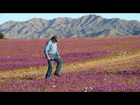 Chile: World's driest desert in bloom after heavy rains