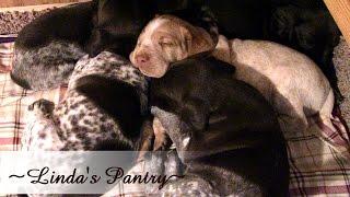 ~three Week Old German Shorthair Pointer Puppy Update With Linda's Pantry~