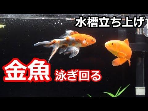 60cm金魚水槽 泳ぎ回る! 【水槽立ち上げ】 - YouTube