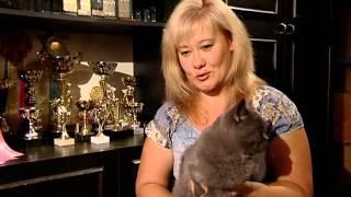 "Мы на телеканала ""Санкт-Петербург"" Британские кошки"