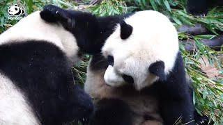 What is the toughest challenge in the protection of giant pandas? | Pandaful Q&A
