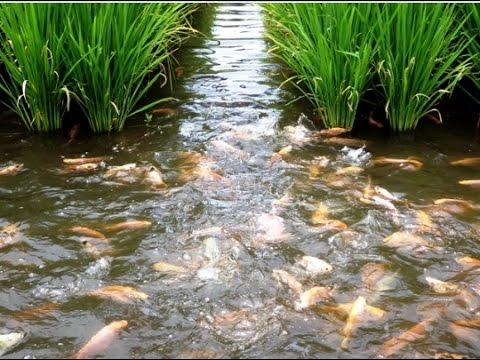 Panen Padi Dan Ikan Sistem Mina Padi