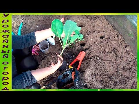 Как сажать рассаду капусты в открытый грунт видео