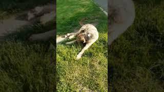 Briard dog and D Julia