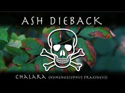 Chalara - Ash Dieback