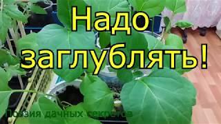 Перцы и баклажаны: корни надо заглублять!