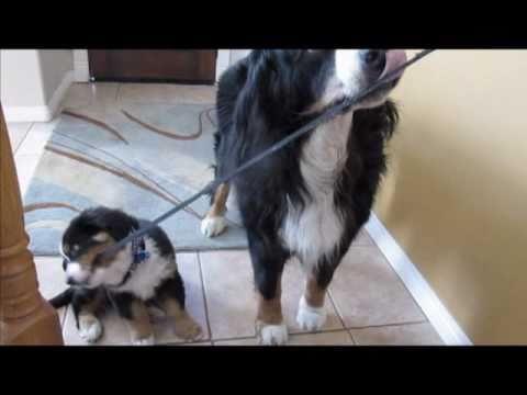 Bernese Mountain dog walking puppy