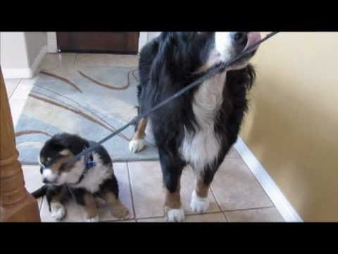 Bernese Mountain dog walking puppy