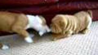 9 Week Old Staffordshire Bull Terrier Vs Shar-pei Tug Of War