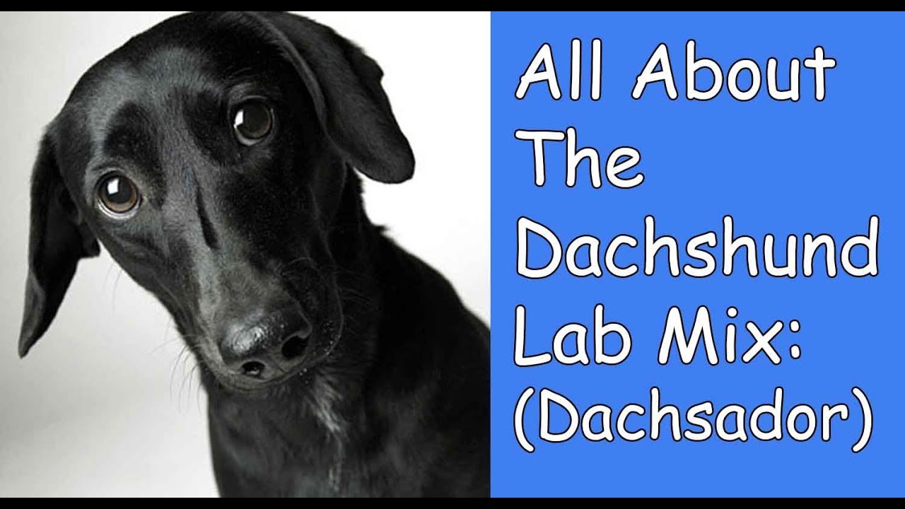 eb85d1015fb All About The Dachshund Lab Mix (Dachsador) - YouTube