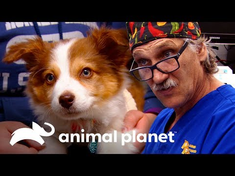 Una Cirugía Arriesgada Para Un Cachorrito | Dr. Jeff, Veterinario | Animal Planet