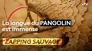 La langue du pangolin est immense - ZAPPING SAUVAGE