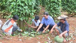 Tin tức 24h: Điều tra vụ phá hoại hồ tiêu ở Đác Song, tỉnh Đác Nông