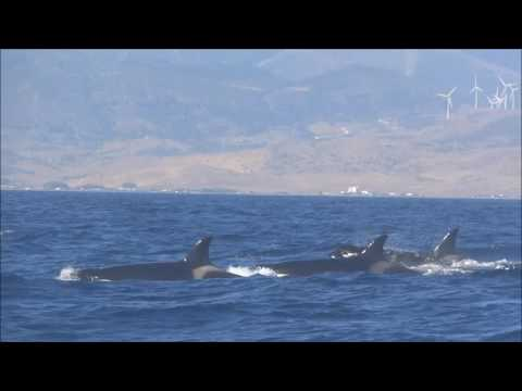 ORCAS in the Strait of Gibraltar! (excursion with Turmares)