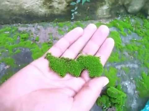 Green Moss Kahan Se Laaye How To Collect Green Moss For Bonsai Mammal Bonsai Youtube