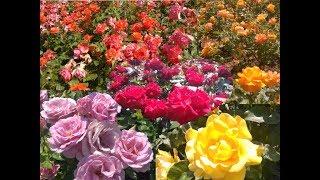Queen Mary's Rose Garden (June 2017)