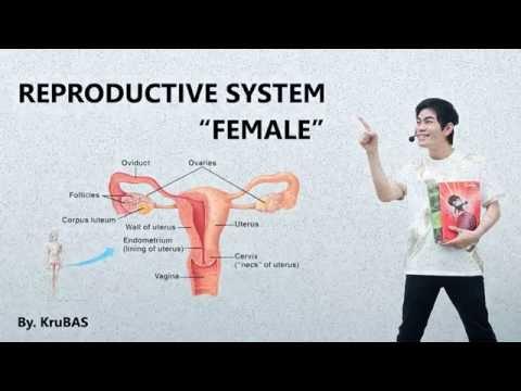 ชีววิทยาครูบาส เรื่อง female reproductive system