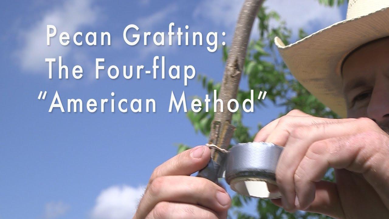 """Pecan Tree Grafting: Four- flap (Banana) Graft, """"American Method"""""""