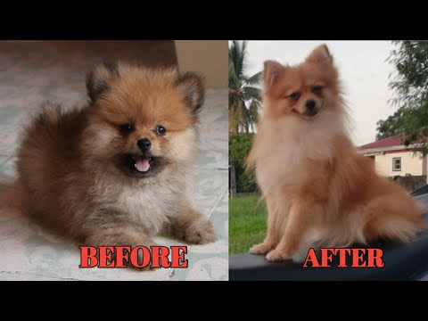 Pomeranian Before and after Growing up | My cute Pomeranian TRANSFORMATION ❤