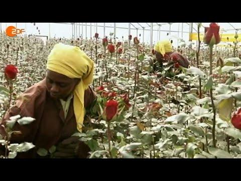 Grüne Rosen (Hintergründe zu 'Fairtrade'-Rosen aus Kenia) (Reportage 2013)
